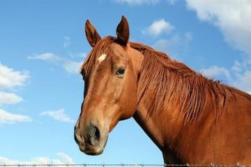 Cannabisolie voor paarden
