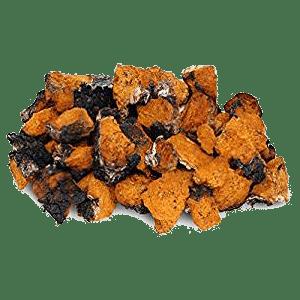 Geneeskrachtige Chaga paddenstoel
