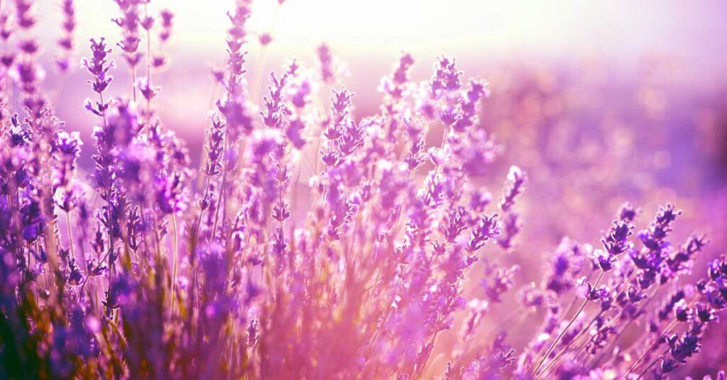 Lavendel, bergamot en sandelhout hebben een kalmerend effect