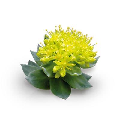 Rozenwortel (Rhodiola Rosea)